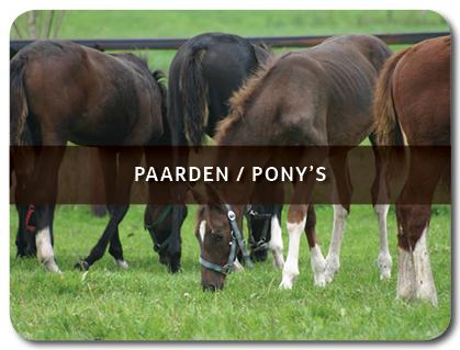 Te koop menpaarden tuigpaarden fokmerries pony's shetlanders ezels
